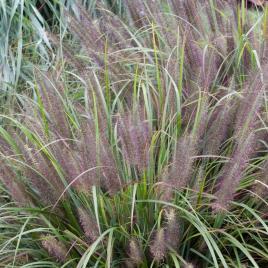 Pennisetum alopecuroides-moundry