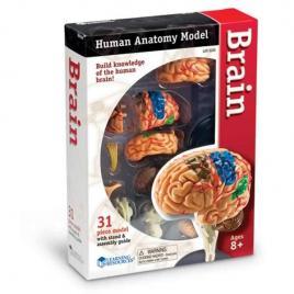 Creierul uman - macheta educativa