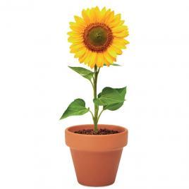 Floarea soarelui, ghiveci ceramica si seminte de plantat